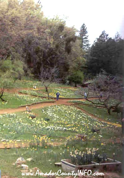 Daffodil Hill in Volcano, Ca USA