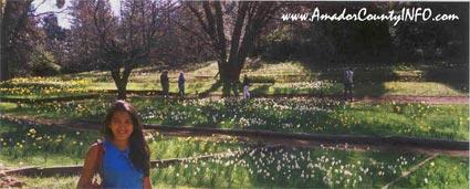 Daffodil Hill in Volcano, Ca USA